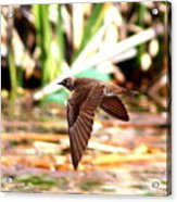 0518 - Northern Rough-winged Swallow Acrylic Print