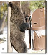 060510-grizzly Back Scratch Acrylic Print
