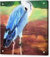 08282016 Female Blue Heron Acrylic Print