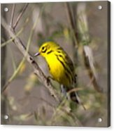 0839 -yellow Warbler Acrylic Print