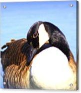 0932 - Canada Goose Acrylic Print