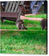 #01 Raccoon Race Acrylic Print