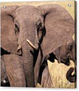 1-elephant Acrylic Print