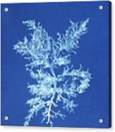 19th-century Alga Cyanotype Acrylic Print by Spencer Collectionnew York Public Library