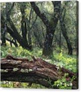 1b6338 Oak Forest On Sonoma Mountain Ca Acrylic Print
