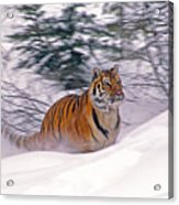 A Blur Of Tiger Acrylic Print