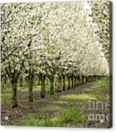A Flowering Cherry Orchard Acrylic Print