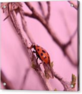A Ladybug   Acrylic Print