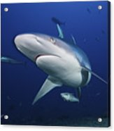 A Large Silvertip Shark, Fiji Acrylic Print by Terry Moore