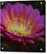 A Passion For Pink  Acrylic Print