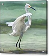 A Snowy Egret (egretta Thula) At Mahoe Acrylic Print