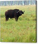 African Buffalo Acrylic Print