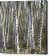Afternoon Birch Trees Acrylic Print