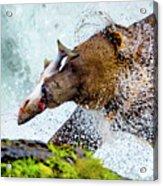 Alaska Brown Bear Acrylic Print