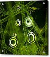 Algae Spirogyra Sp., Lm Acrylic Print