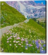 Alta Vista Trail In  Mount Rainier National Park, Washington  Acrylic Print