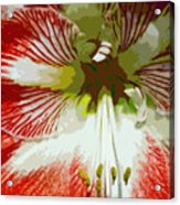 Amaryllidaceae Hippeastrum Stargazeramarylllis Acrylic Print