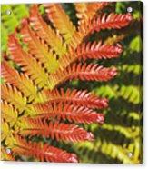 Amaumau Fern Frond Acrylic Print