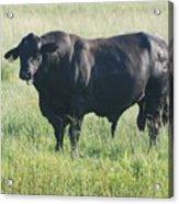 American Cow Acrylic Print