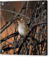 American Tree Sparrow Acrylic Print
