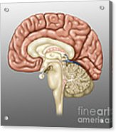Anatomy Of The Brain, Illustration Acrylic Print