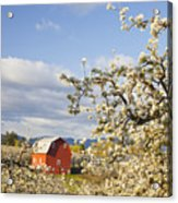 Apple Blossom Trees And A Red Barn In Acrylic Print
