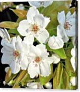 Apple Blossoms 0936 Acrylic Print