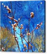 Apricot Blossoms El Valle Acrylic Print