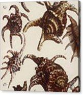 Aquatic Animals - Conch - Shells - Snails Acrylic Print