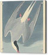 Arctic Tern Acrylic Print