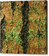 Aspen Bark After The Rain Acrylic Print