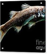 Atlantic Pelagic Basslet Acrylic Print