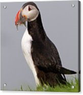 Atlantic Puffin Acrylic Print
