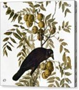 Audubon: Crow Acrylic Print