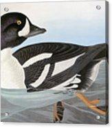 Audubon Duck Acrylic Print