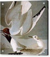Audubon: Gull Acrylic Print