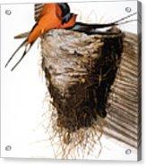 Audubon: Swallow Acrylic Print