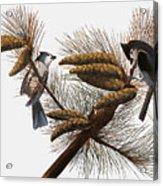 Audubon: Titmouse Acrylic Print