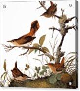Audubon: Wren Acrylic Print