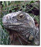 Australia - Kamodo Dragon Acrylic Print