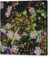 Australian Burr Daisies Acrylic Print