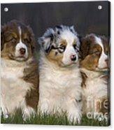 Australian Shepherd Puppies Acrylic Print
