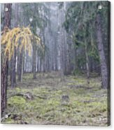 Autumn Coniferous Forest In The Morning Mist Acrylic Print
