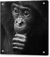 Baby Bonobo Portrait Acrylic Print