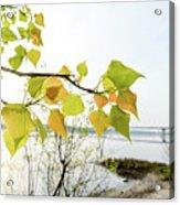 Backlit Poplar Leaves Acrylic Print