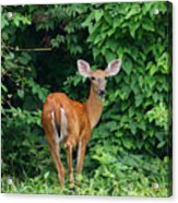 Backyard Deer Acrylic Print