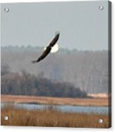 Bald Eagle In Flight Acrylic Print