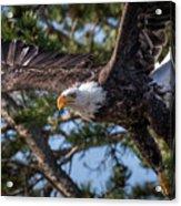 Bald Eagle Launch Acrylic Print