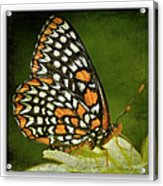 Baltimore Checkerspot Acrylic Print