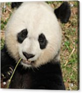 Bamboo Sticking Out Of The Mouth Of A Giant Panda Bear Acrylic Print